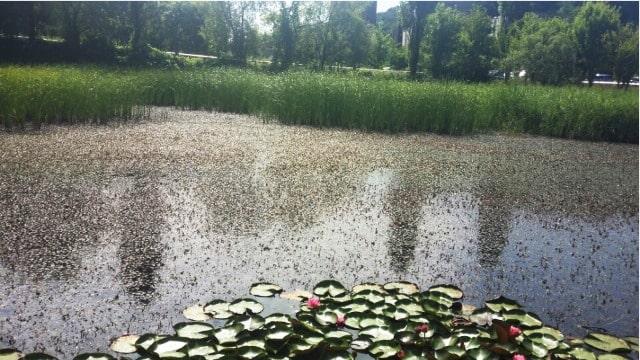アシ広場の池